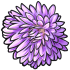 Purple China Aster
